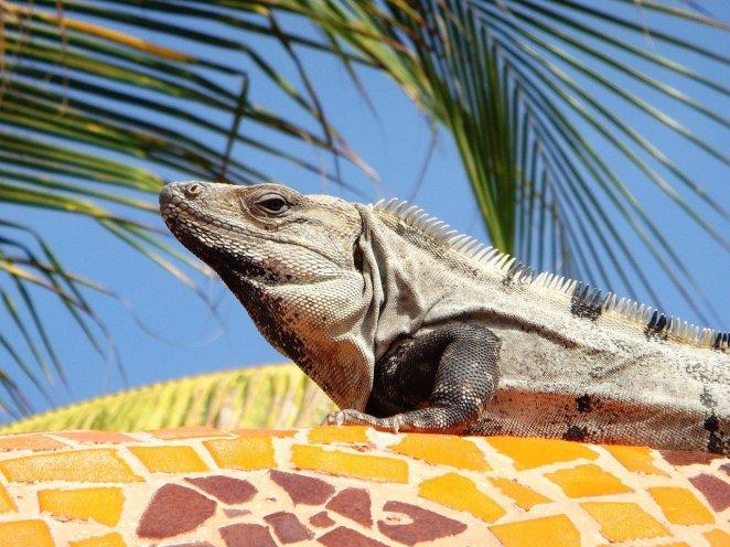 iguana-734079_1280